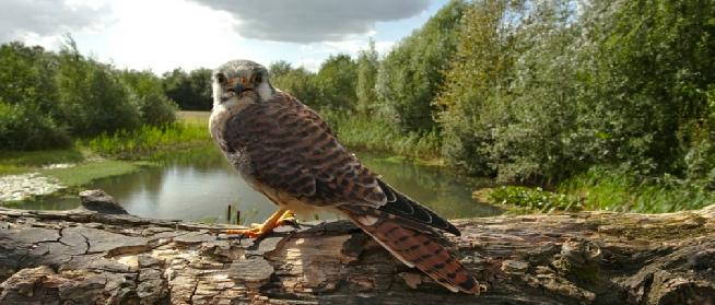 Topvogel Roofvogelshow